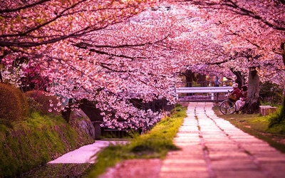 Праздник цветения сакуры в Японии